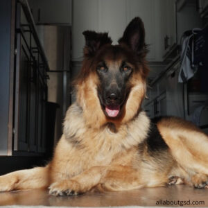 How to protect my German Shepherd from mosquitoes at home?