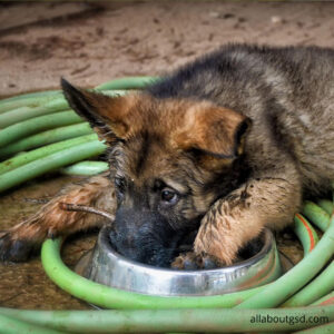 How much nutrition a german shepherd need?