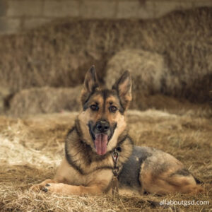 How can you help Your German Shepherd While You Are Homeless