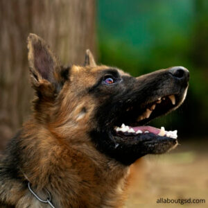 How to command a German Shepherd not to chase the stranger