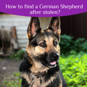 How to find a German Shepherd after stolen?