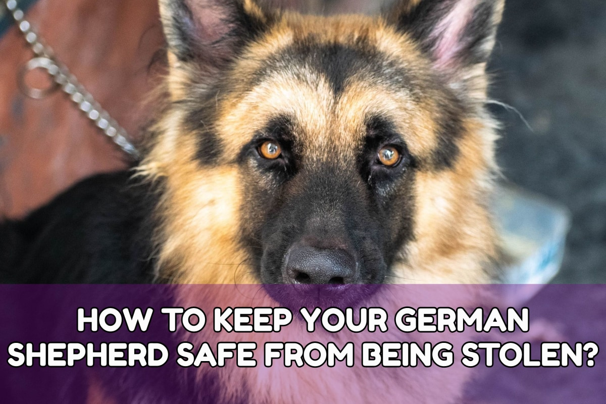 HOW TO KEEP YOUR GERMAN SHEPHERD SAFE FROM BEING STOLEN?