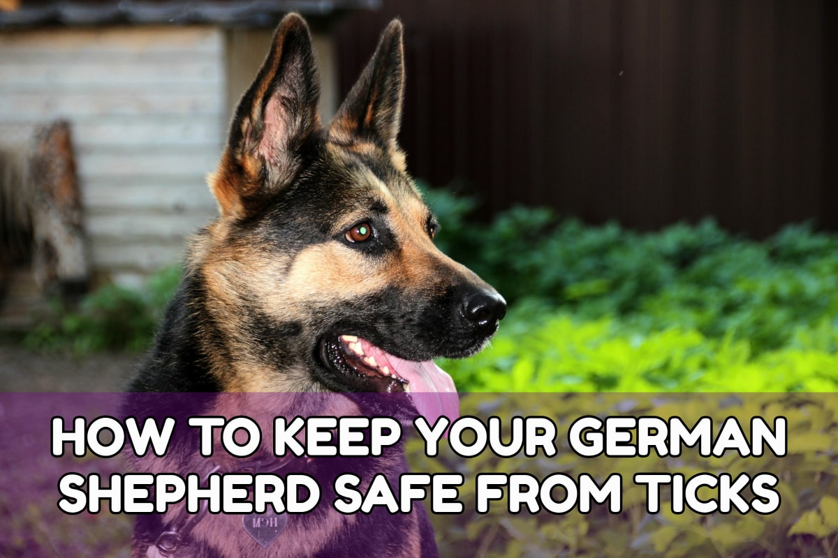 HOW TO KEEP YOUR GERMAN SHEPHERD SAFE FROM TICKS