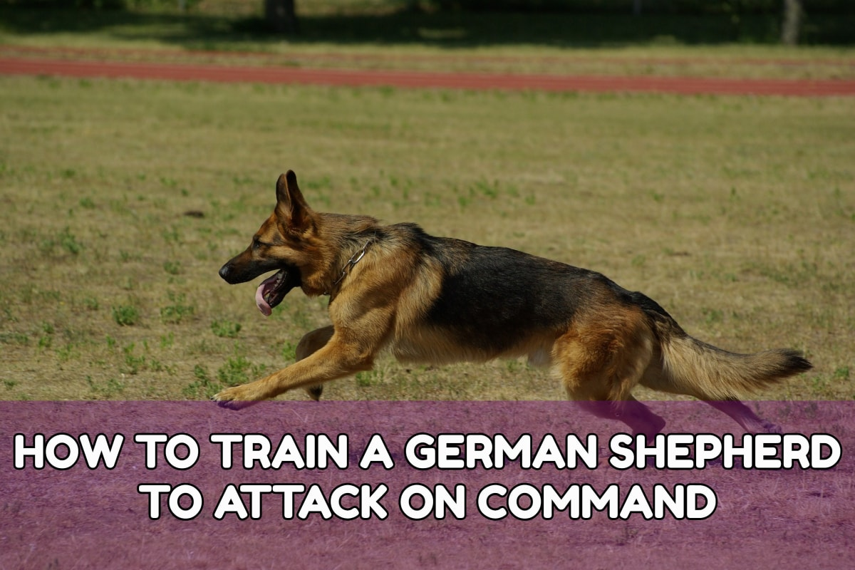 How TO TRAIN A GERMAN SHEPHERD TO ATTACK ON COMMAND