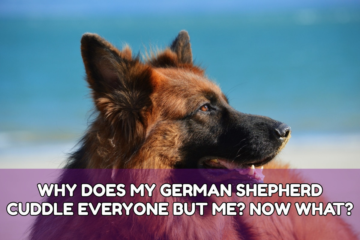 WHY DOES MY GERMAN SHEPHERD CUDDLE EVERYONE BUT ME? NOW WHAT?