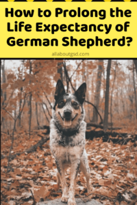 How to Prolong the Life Expectancy of German Shepherd?