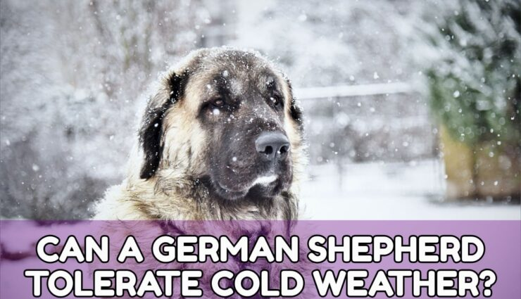 CAN A GERMAN SHEPHERD TOLERATE COLD WEATHER?