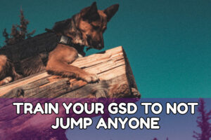TRAIN YOUR GSD TO NOT JUMP ANYONE