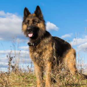 Which dog breeds have hair instead of fur?