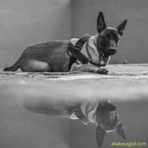 Are adult German shepherd dogs easy to train?
