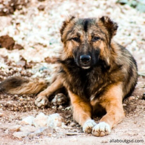 How to take care of your long-haired German Shepherds health?