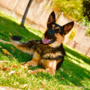 Do long haired German shepherds have good temperament?