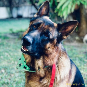 Are German Shepherds loyal to their owners?