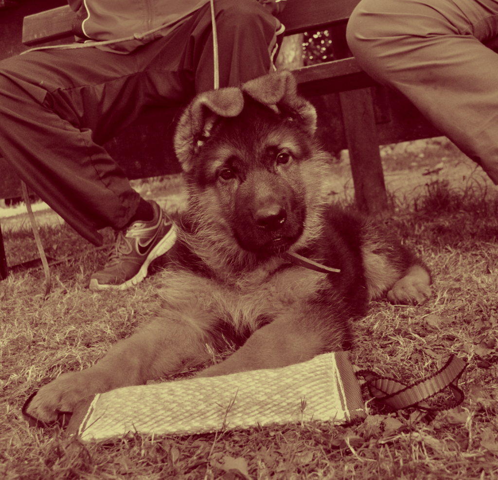How Long Do German shepherd Dogs with Dwarfism Live?