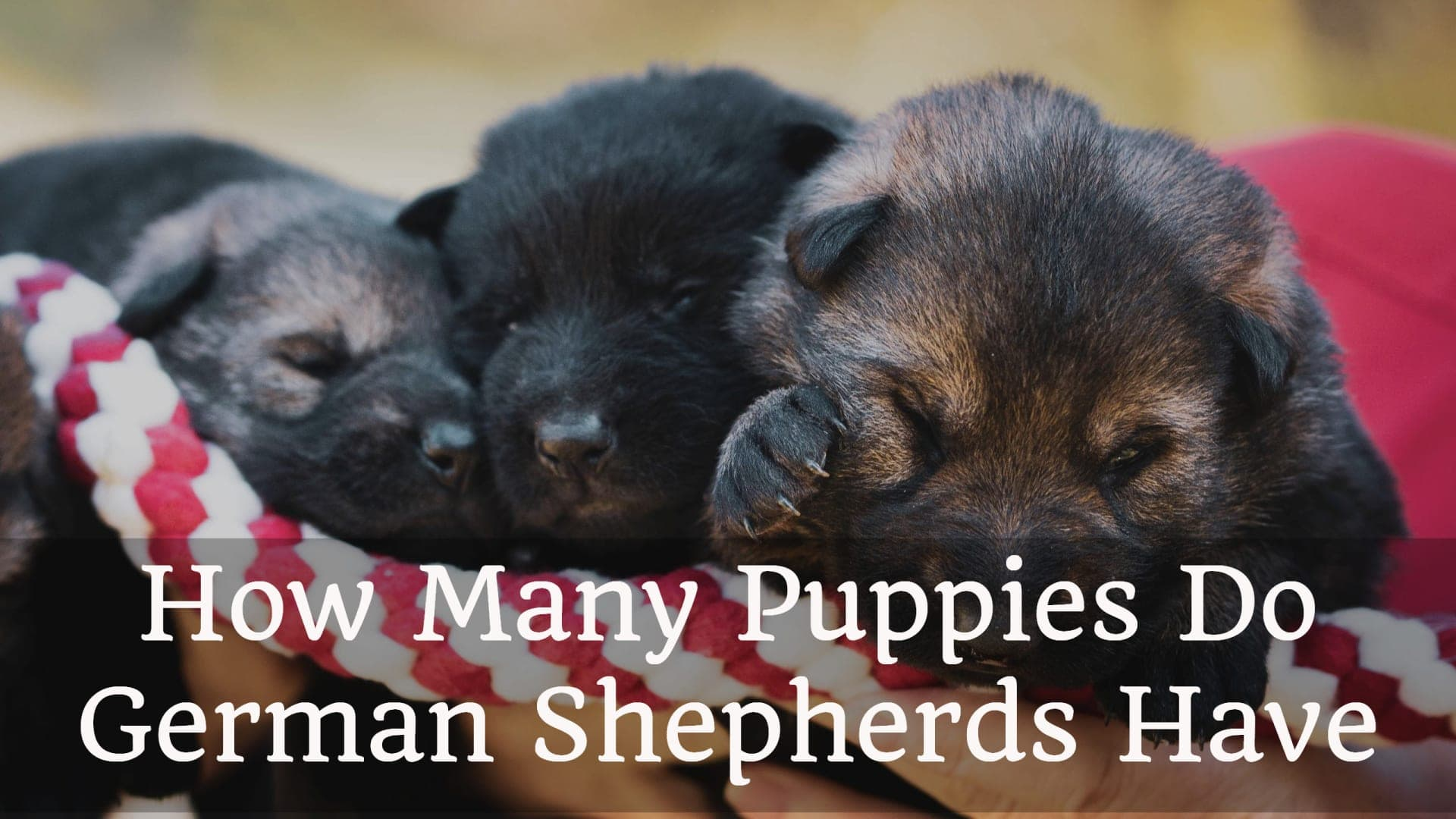 How Many Puppies Do German Shepherds Have