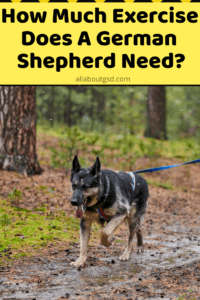 How Much Exercise Does A German Shepherd Need?