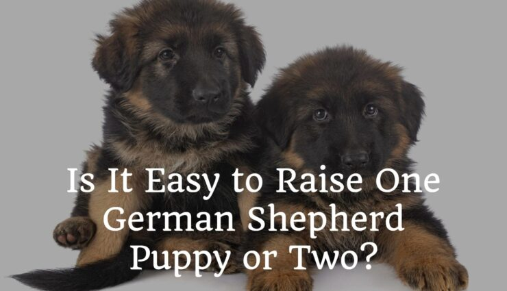 Is It Easy to Raise One German Shepherd Puppy or Two