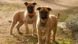 Is It Good to Have Two German Shepherds?