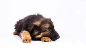 Health Problems Associated With German Shepherds