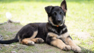 Where and How to Find a Free German shepherd For Adoption