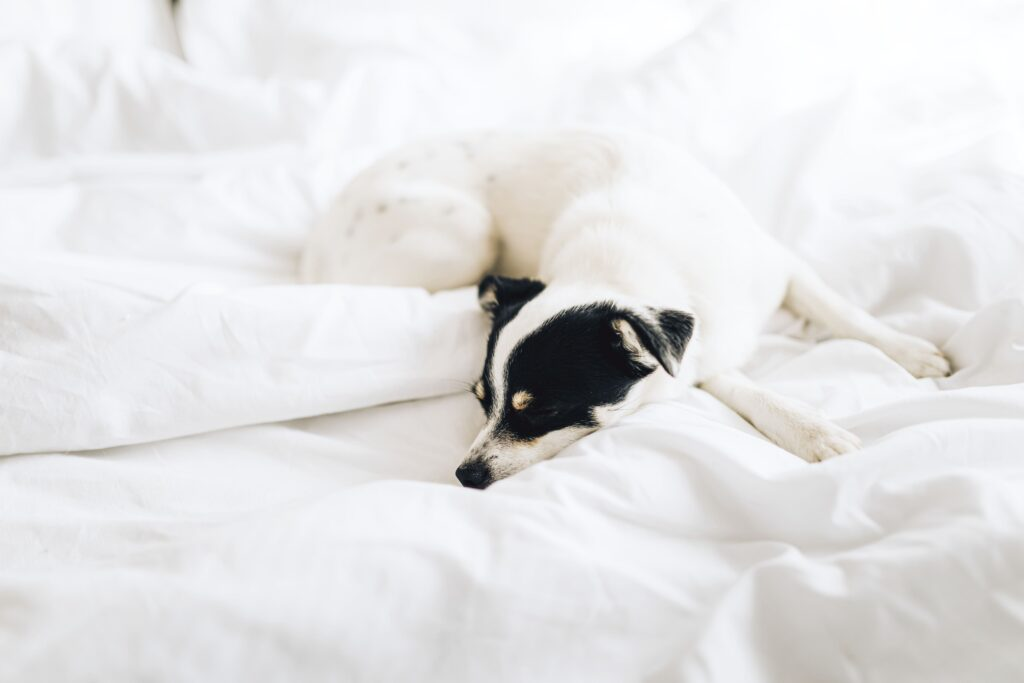 jack russell shepherd mix color
