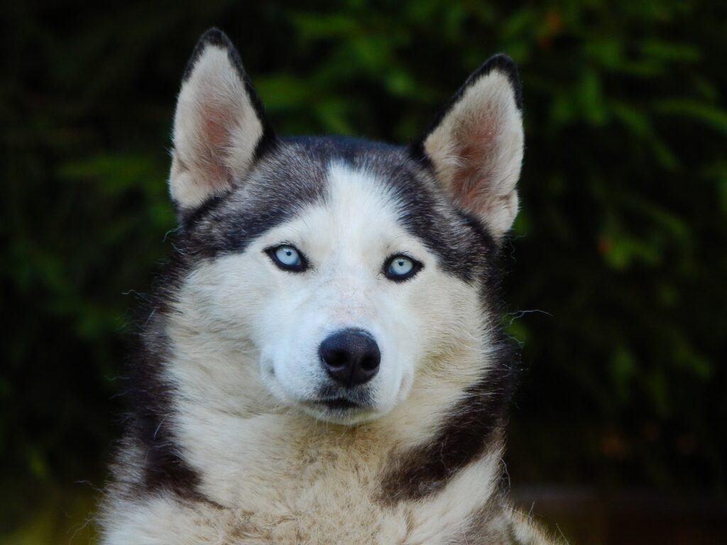 Alaskan malamute personality