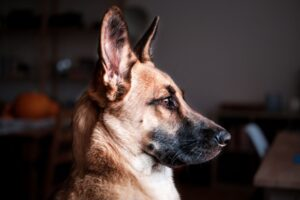 Are German Shepherds Good Dogs for apartments