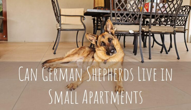 Can German Shepherds Live in Small Apartments