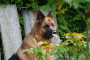 Can a German Shepherd live in an apartment