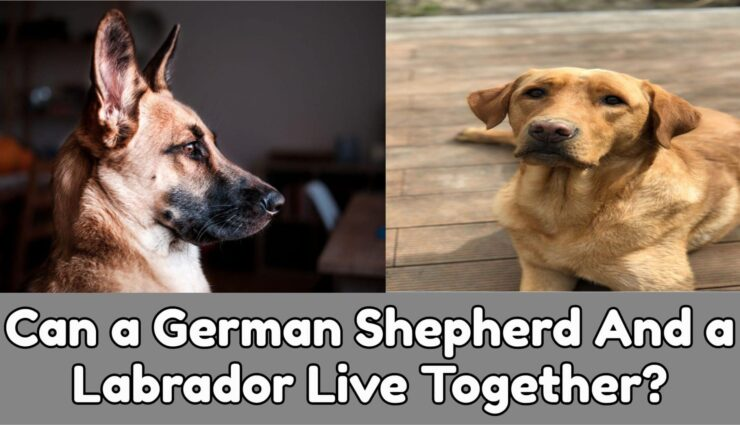 Can labs and German shepherds live together