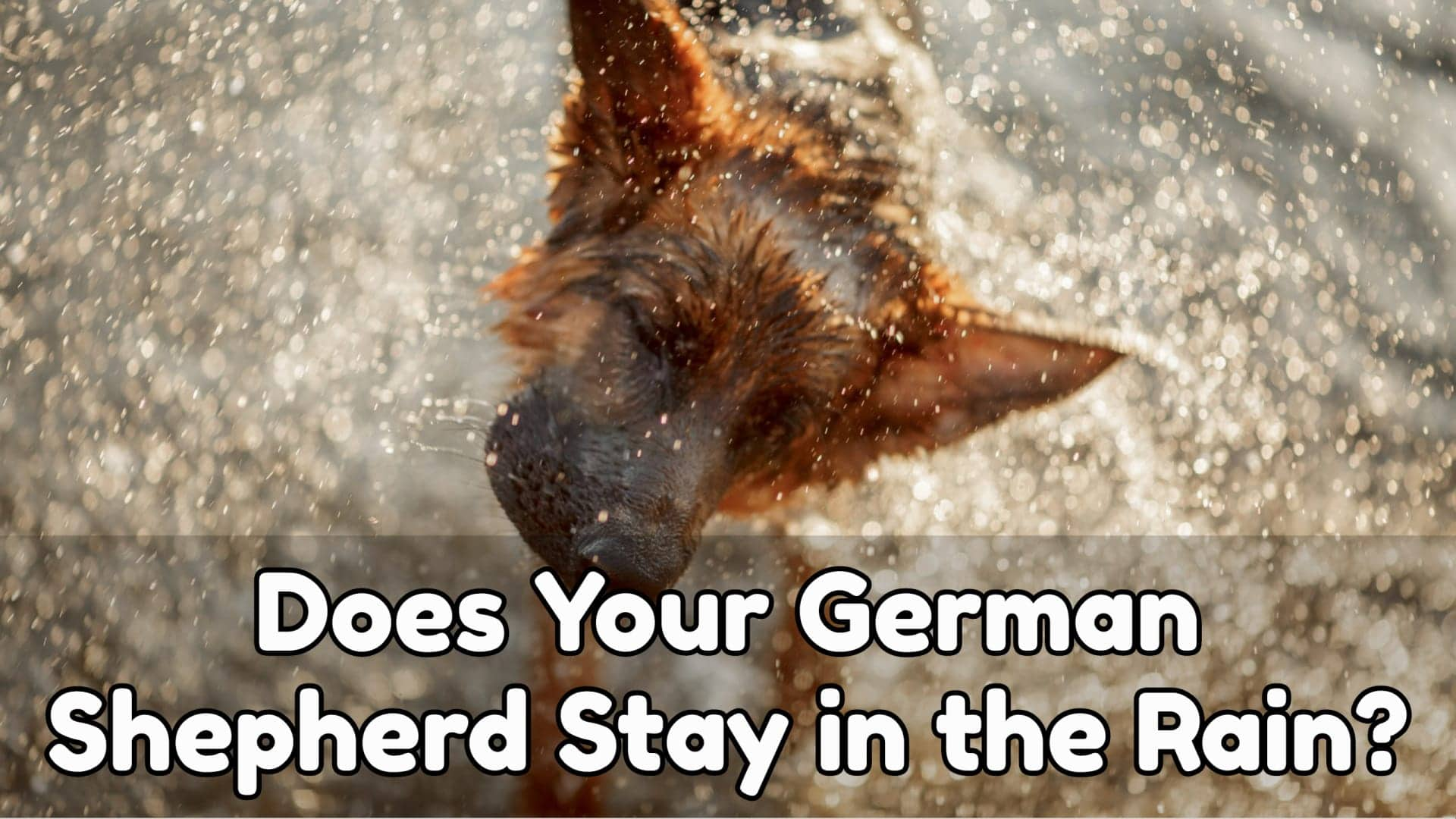 Does Your German Shepherd Stay in the Rain