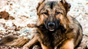 Can a German Shepherd Mate with a Chihuahua