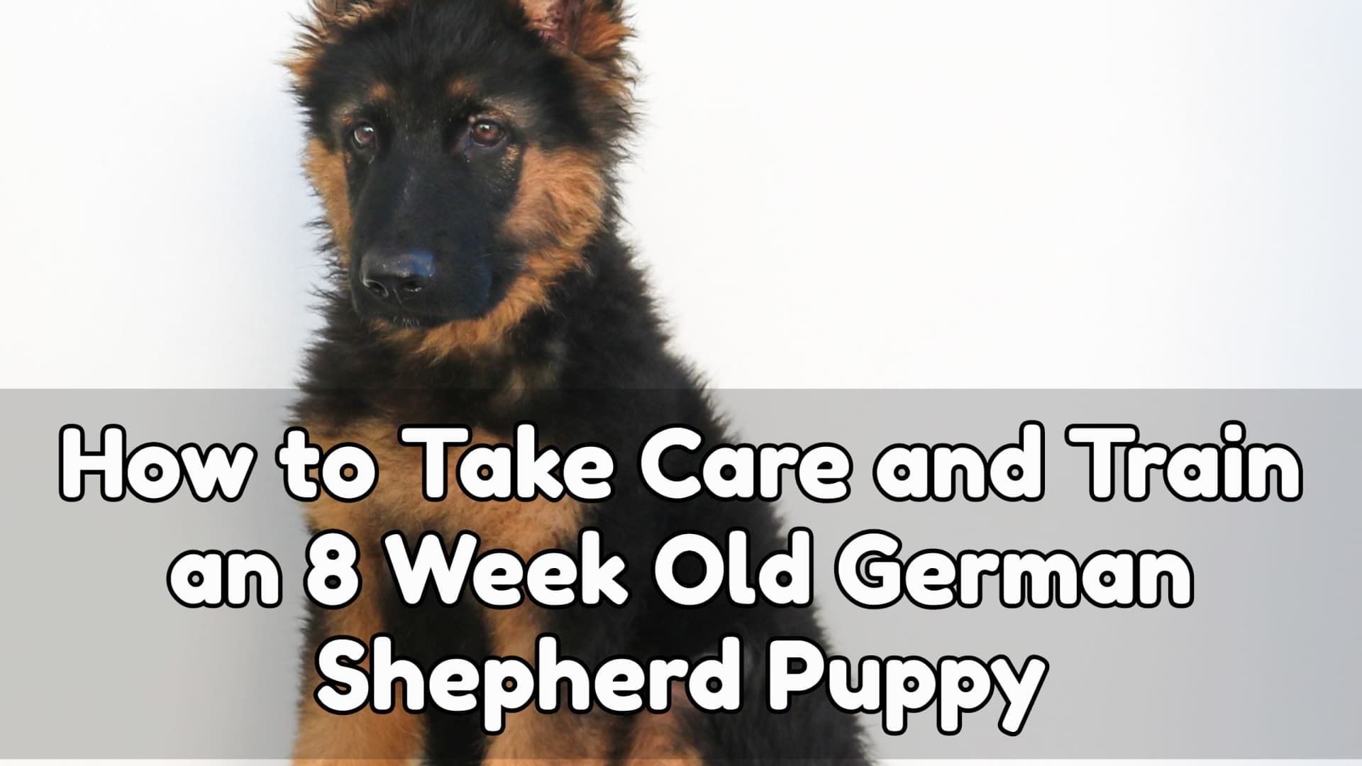 How to Take Care and Train an 8 Week Old German shepherd Puppy