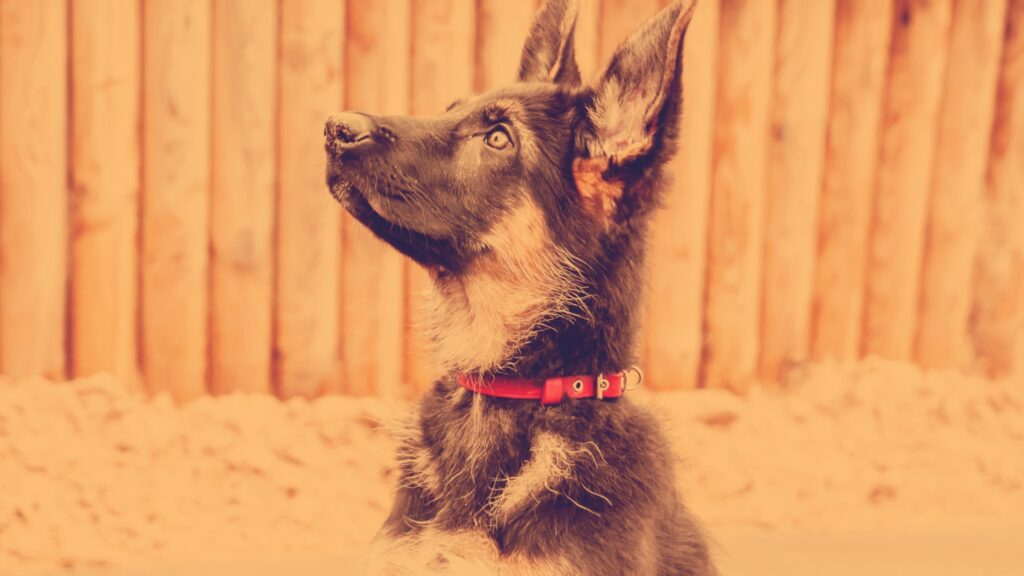 Train Your 8 Week Old GSD Puppy