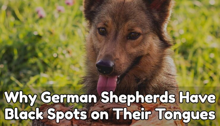 Why German Shepherds Have Black Spots on Their Tongues