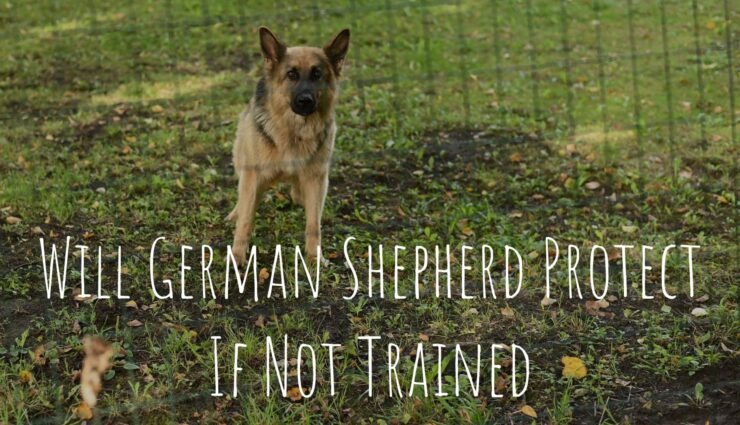 Will German Shepherd Protect If Not Trained