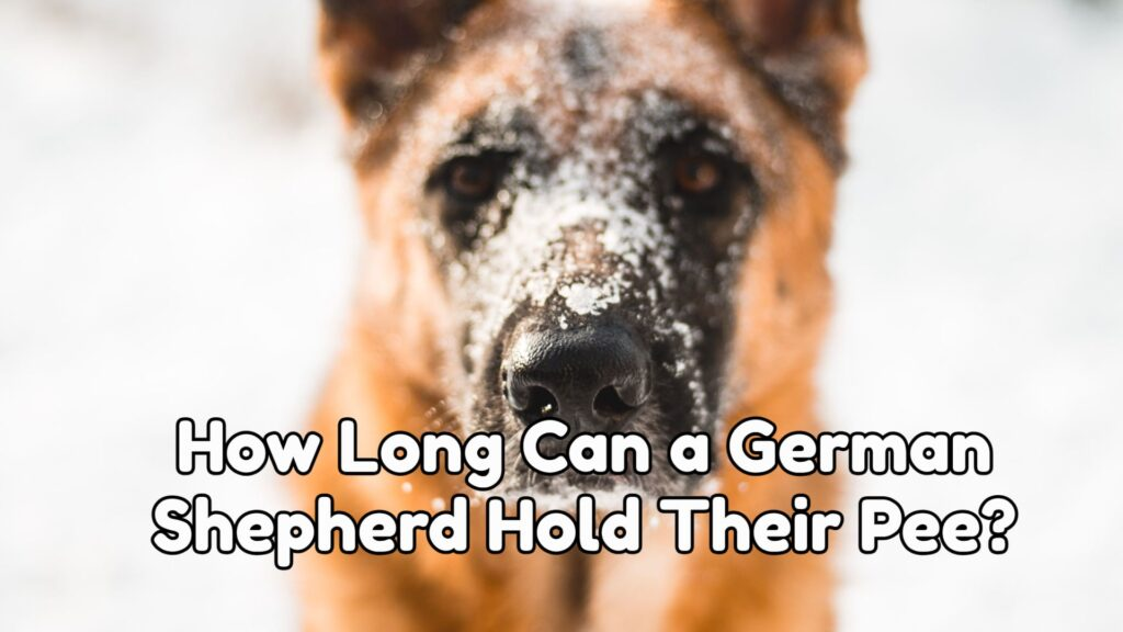 How Long Can a German Shepherd Hold Their Pee?