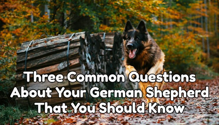 Three Common Questions About Your German Shepherd That You Should Know
