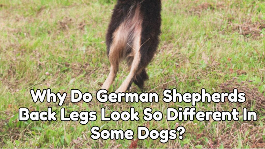 Why Do German Shepherds Back Legs Look So Different In Some Dogs?