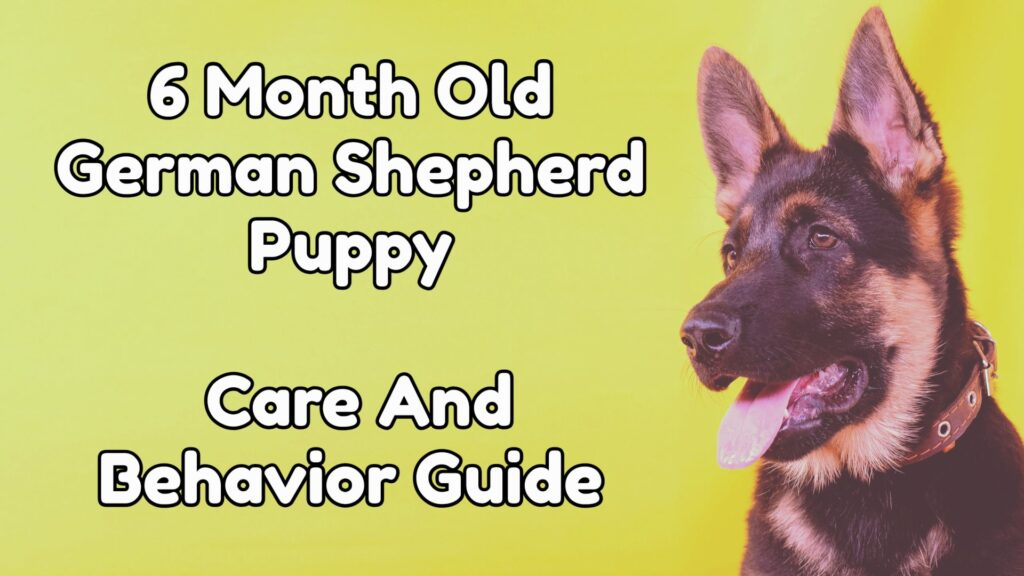 6 Month Old German shepherd Puppy - care and behavior guide