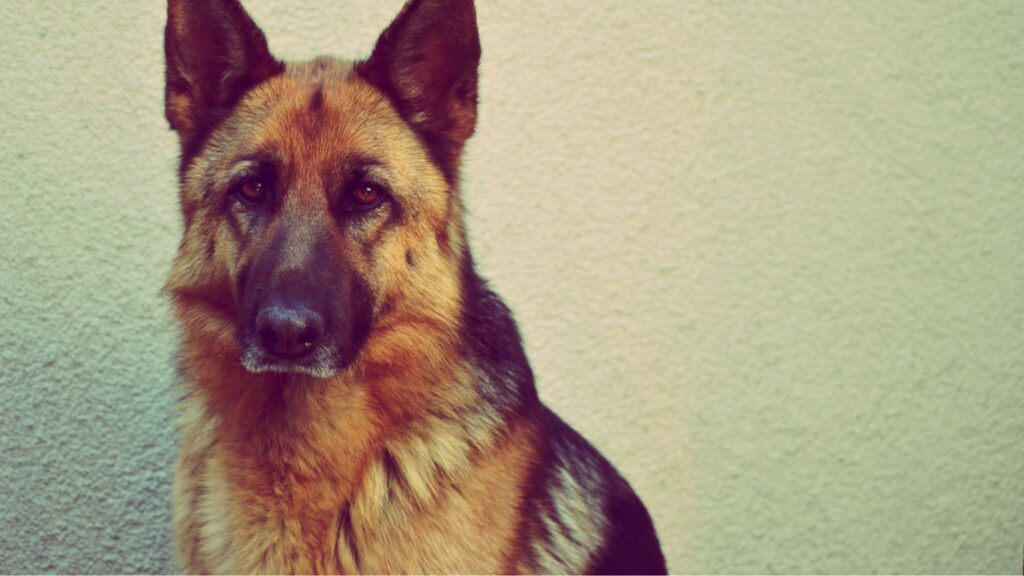 GSD mix with Coyote