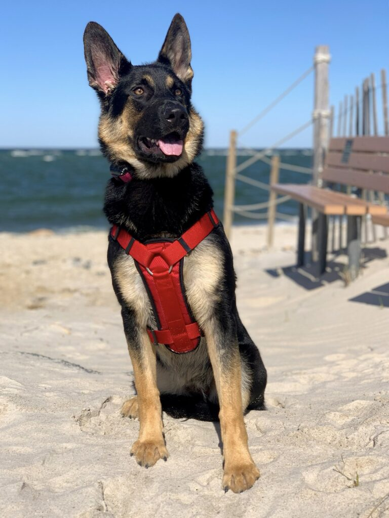 German shepherd coyote mix size and appearance