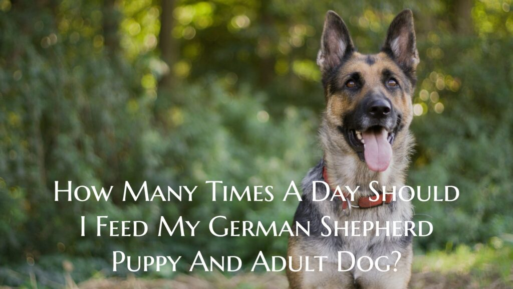 How Many Times A Day Should I Feed My German Shepherd Puppy And Adult Dog?