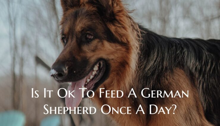 Is It Ok To Feed A German Shepherd Once A Day?
