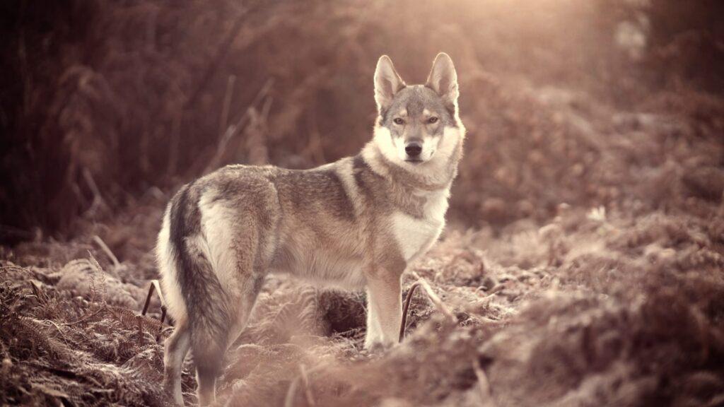 coyote german shepherd mix Temperaments