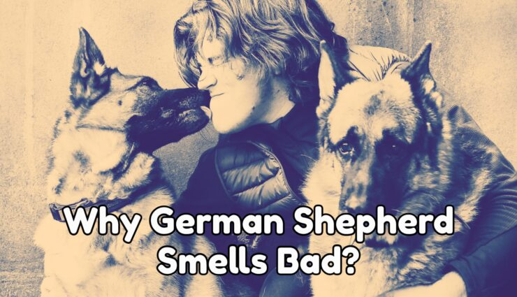 Why Your German Shepherd Smells Bad