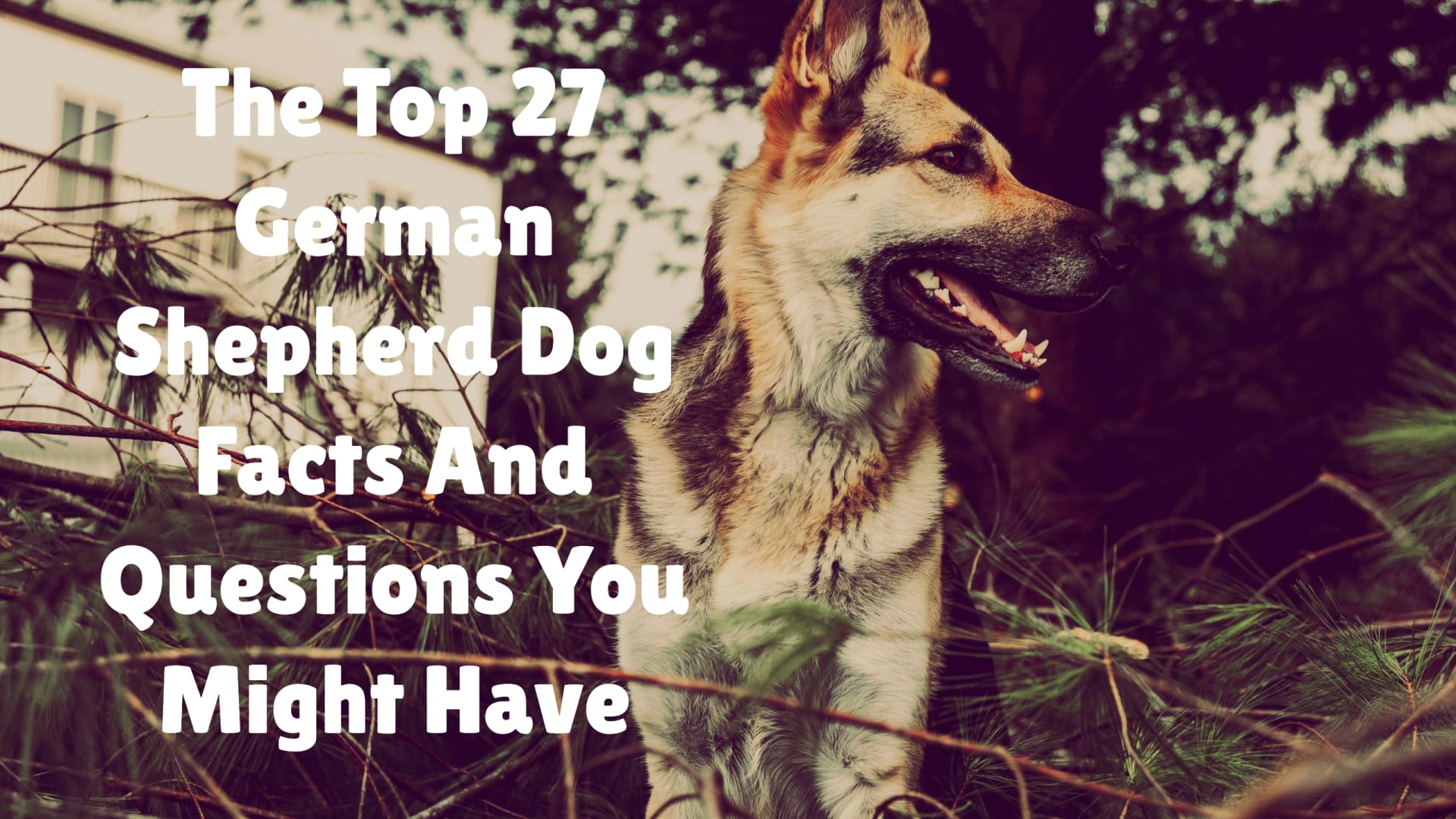 German Shepherd dog facts and questions