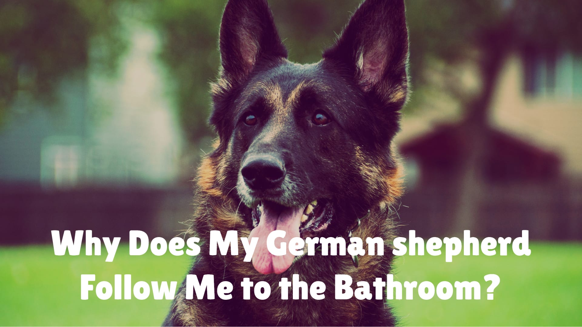 Why Does My German shepherd Follow Me to the Bathroom?