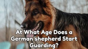 At What Age Does a German shepherd Start Guarding?