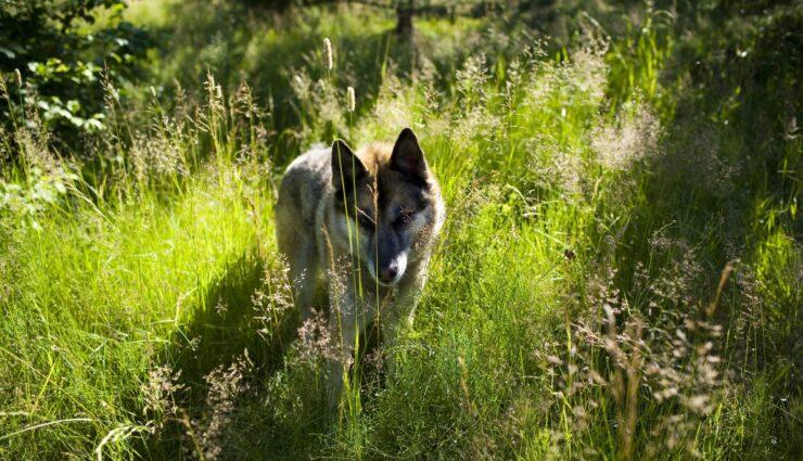 How to Train a German shepherd Husky Mix Puppy